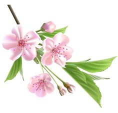 Spring Branch with Pink Tree Flowers PNG Clipart