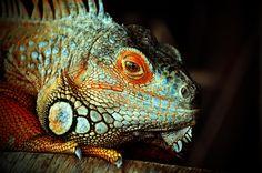 Iguana by Jason McSpadden on 500px