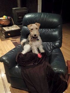 He looks like he is trying to figure something out. Fox Terriers, Wire Fox Terrier, Airedale Terrier, Beautiful Dogs, Best Dogs, Pets, Nature, Hair, Animaux
