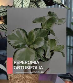 Peperomia Rare Plants, Vegetables, Vegetable Recipes, Veggies