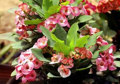 Euphorbia milii | How to grow and care Crown of Thorns | Growing Crown of Thorns -
