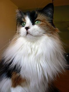 Even if you aren't a feline fancier, this gorgeous calico Maine coon cat is a standout. Pretty Cats, Beautiful Cats, Animals Beautiful, Pretty Kitty, Gatos Maine Coon, Maine Coon Cats, Gato Calico, Calico Cats, Animals And Pets