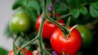 Growing Cherry Tomatoes in Pots: Best Varieties