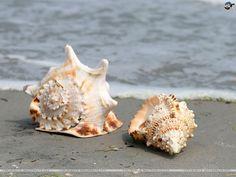 Most Beautiful Seashells of The World - inspirich