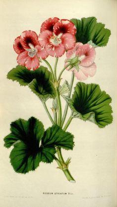 Pelargonium roseum striatum  Illustration taken from 'Flore des Serres et des Jardins de l'Europe' by Louis van Houtte. Published 1850-1851.  Missouri Botanical Garden.