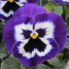 pansy faces - Google Search