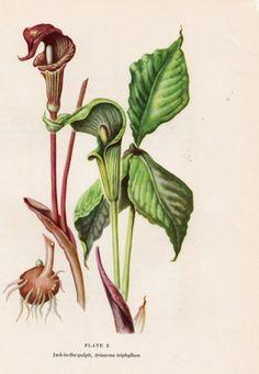 WILD FLOWER   JACK IN THE PULPIT  BOTANICAL BOOK par LoveElizabeth, $7,95