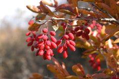 Цветущие кустарники для дачи барбарис