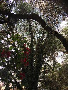 Árbol de Mezquite  Comonfort., Gto., México