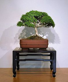 I'd really like to grow my own kingsville boxwood bonsai tree, but I can't find seeds anywhere. Maybe I'm not looking in the right place.