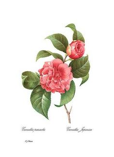 Botanical print by Redoute: Red Camellia