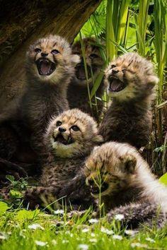 Cheetah babies.