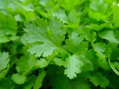Kidney Cleanse Remedies Super herbs to cleanse the kidneys - parsley, pictured - Our bodies are normally purifying everyday. It is just one of the body's a lot of fundamental features: to remove and reduce the effects of toxins through. Green Smoothie Recipes, Smoothies, Como Plantar Salsa, Herb Garden, Garden Plants, Garden Tips, Health Remedies, Home Remedies, Parsley Plant