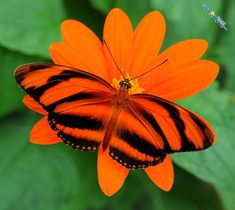 The Banded Orange Heliconian, also known as Dryadula Phaetusa, is found in Brazil to Central Mexico.