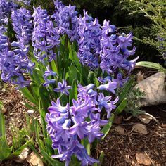 Purple hyacinths are in full bloom.