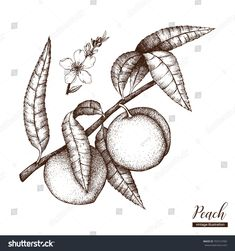 Find Vector Peach Tree Vintage Sketch Hand stock images in HD and millions of other royalty-free stock photos, illustrations and vectors in the Shutterstock collection. Tree Illustration, Ink Illustrations, Fruit Sketch, Peach Pit, Fruits Drawing, Typography Design Layout, Peach Trees, Botanical Drawings, Linocut Prints