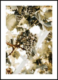 Grapes Poster - Kitchen posters - Photography - Posterstore.co.uk