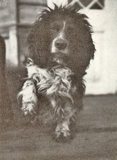 """Alexei's pet spaniel Joy.  He survived the execution of the family and was later found wandering the streets of Ekaterinburg.  Later, he was found in the home of Michael Letemin, one of the  Ipatiev House guards.     Eventually he was brought to England by Paul Rodzianko.  (from an article by Marion Wynn entitled """"The Last Resting Place of Joy"""")."""