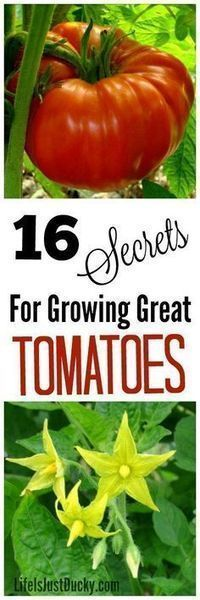 16 secrets for growing best tomatoes. Whether on your homestead or just your back yard garden, everyone wants to grow…