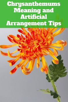 Chrysanthemums are flowering plants from the Asteraceae family, and tend to grow… Chrysanthemum Meaning, Japanese Chrysanthemum, Chrysanthemum Flower, Orange Flowers, Real Flowers, Amazing Flowers, Artificial Flowers, Real Plants, Exotic Plants