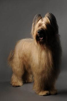 BRIARD: Vigorous and alert, this powerful and agile breed is a native of France. A working animal, the breed's most common job has been herding, but their acute sense of hearing also makes them an excellent watchdog. The Briard's long, luxurious coat can be any solid color except white; they are usually black, gray or tawny.