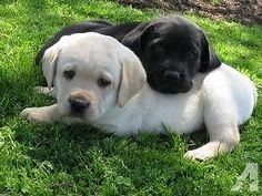 GOLDADOR PUPPIES (Lab and Golden Retriever mix) Best of