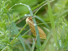 Female ghost swift moth, Rabivere Bog.