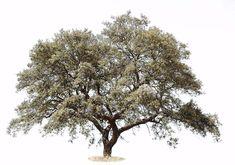 Quercus rotundifolia. PNG image. Transparent background.
