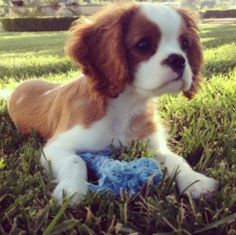Cavalier King Charles puppy ~ Finley