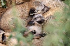 Five Bat-eared Fox Kits are Zoo Prague's Newest Handful