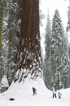 Snowshoeing-at-Base-of-Sequoia.jpg 469×702 pixels