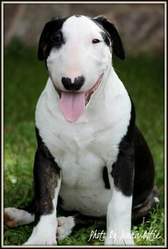 Superbowl's Lagerfeld, a bull terrier with floppy ears...