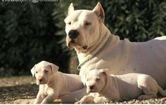 Dogo Argentinos