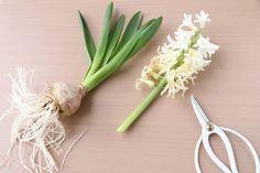 ほったらかしOK! ヒヤシンスの球根を来年も楽しむ方法 : 窪田千紘フォトスタイリングWebマガジン「Klastyling」暮らす+スタイリング Flora, Woodworking, Tableware, Gardening, Backyards, Bulbs, Interiors, Kitchen, House