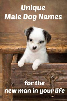 This cute Chihuahua puppy would love to find a unique male dog name just for him... http://www.dog-names-and-more.com/male-dog-names.html