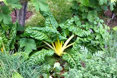 Swiss chard is such a versatile veggie - great for edible or ornamental gardens.