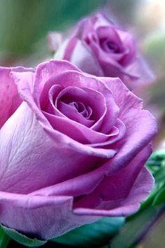 Sterling roses