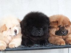 Three Chow puppies of different colors
