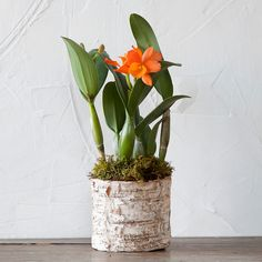 """Topped with bold blooms in a vivid shade of orange, this Cattleya orchid makes a stunning and long-lasting gift. Each orchid arrives ready for display in a moss-lined, birch bark pot.- A terrain exclusive- Orchid, moss, soil, birch bark pot, plastic liner- Pot: 5""""H, 5"""" diameter- Plant: USA; Pot: ImportedPlant: 10""""H, 7""""WOnline Exclusive"""
