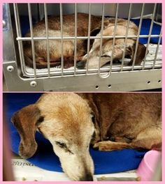 Please help to save this little senior doxy.