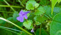 medicinal plant: creeping charlie