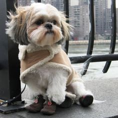 Shih tzu wearing boots :) my dog had that jacket. she looked so cute in it