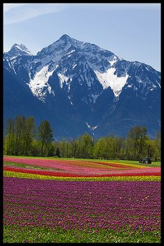 Tulips under Mount Cheam, Fraser Valley, British Columbia Organic Food Online, Fraser Valley, Visit Canada, Sea Birds, Organic Recipes, British Columbia, Landscape Paintings, Tulips, Vancouver