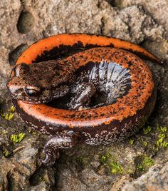 The larch mountain salamander is a lungless amphibian that lives in the Pacific Northwest. It breathes through its skin which has to stay constantly wet, even though its a land-dwelling salamander. This is its defensive position, thought to resemble a poisonous millipede. Image credit: John Clare