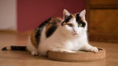 Calico cats are recognized for their unique coat pattern, but there are many more interesting things about them than one may realize.   All cats are alluring individuals, each with their own special looks and personalities, but some coat colors have … [not my truncation; click for a fun read]