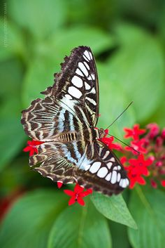 Clipper Butterfly on Pentas