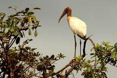 Foto cabeça-seca (Mycteria americana) por Marcelo Queiroz | Wiki Aves - A Enciclopédia das Aves do Brasil