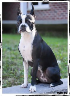 This Boston Terrier did the Pose for a Nice Picture! - Marley from Alma, Quebec (Photo) Boston Bull Terrier, Boston Terrior, Toy Fox Terriers, Terrier Dogs, Bully Dog, Baby Dogs, Dog Pictures, Dog Breeds, Cute Dogs