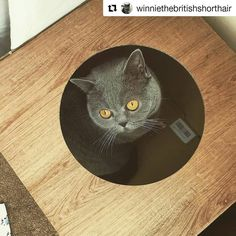 #Repost @winniethebritishshorthair (@get_repost)  #itsfriday #box #life #catfurniture #catsofinstagram #catsofworld #catslife #greycat #winniethebritishshorthair #bsh #britishshorthair