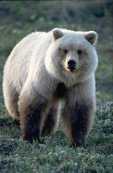 a blond colored   Grizzly Bear